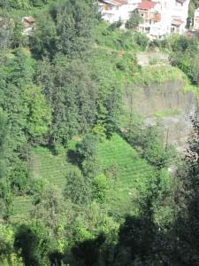 Tea plantations in Rize, Turkey