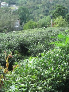 Tea plantations in Rize