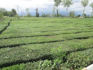 Tea plantation in Iran