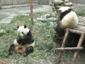 Pandas near Chengdu