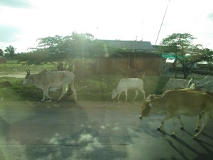 Cows roam the road from Phnom Penh to Battambang