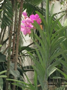 Orchid growing at the Museum of Floral Culture in Bangkok